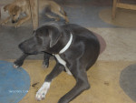 Chien igor - Dogue Allemand Mâle (11 mois)