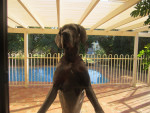 Chien Jar-Jar - Dogue Allemand Femelle (4 ans)