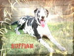 Chien Ruffian - Dogue Allemand Mâle (2 ans)