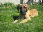 Chien ITTYE - Dogue Allemand Femelle (0 mois)