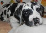 Chien cookie - Dogue Allemand Femelle (1 mois)