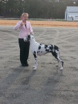 Chien Jaxon - Dogue Allemand Femelle (2 ans)
