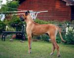 Chien Zeus - Dogue Allemand Mâle (2 ans)