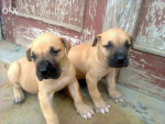 Chien Pinky and Pogo - Dogue Allemand Femelle (1 mois)