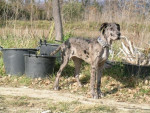 Chien dogue allemand...... prénom : flex - Dogue Allemand  (0 mois)