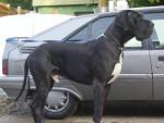 Chien dogue allemand ultimate connection de shandarah - Dogue Allemand Femelle (0 mois)