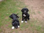 Chien dogue allemand ZEUS et ZELDA - Dogue Allemand Femelle (0 mois)