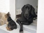 Chien DOGUE ALLEMAND - VODKA - Dogue Allemand  (0 mois)
