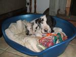 Chien dogue allemand arlequin prénommé Charly - Dogue Allemand  (0 mois)