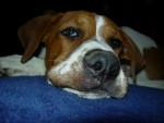 Chien pacha croisé dogue allemand - Dogue Allemand  (0 mois)