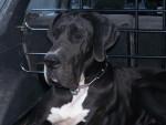 Chien dogue allemand - Dogue Allemand Femelle (0 mois)