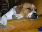 Chien PACHA CROIS2 DOGUE ALLEMAND - Dogue Allemand  (0 mois)