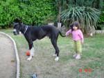 Chien rubens dogue allemand - Dogue Allemand  (0 mois)