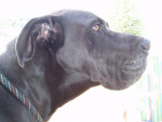 Chien DOGUE ALLEMAND RAMBO - Dogue Allemand  (0 mois)