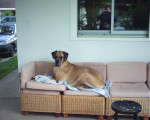 Chien dogue allemand Thia de Misandre - Dogue Allemand Femelle (0 mois)