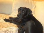 Chien dogue allemand BOB - Dogue Allemand  (0 mois)