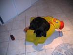 Chien Dogue Allemand - Callas - Dogue Allemand  (0 mois)