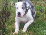 Chien falko dogue allemand sourd - Dogue Allemand  (0 mois)