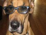 Chien Grand Danois...ZAO - Dogue Allemand  (0 mois)