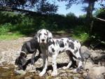 Chien dogue allemand - Dogue Allemand  (0 mois)