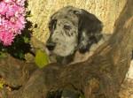 Chien Dogue Allemand -- Fabiola - Dogue Allemand  (0 mois)