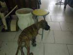 Chien dogue allemand nommée Galia - Dogue Allemand  (0 mois)