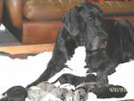Chien Dogue allemand à réserver - Dogue Allemand  (0 mois)