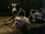 Chien dogue allemand arlequin - Dogue Allemand  (0 mois)