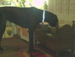 Chien Bowie à 12 mois, dogue allemand noir. - Dogue Allemand  (1 an)