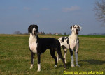 Chien Femelles arlequine et noire : Félicia et Farah - Dogue Allemand  (0 mois)