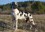 Chien Mâle arlequin  Cyrano des Joyaux d\'allythélia - Dogue Allemand  (0 mois)