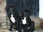 Chien Fangio et Filipo jeunes Dogues Allemands - Dogue Allemand  (0 mois)
