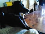 Chien Milo - Dogue Allemand Mâle (4 ans)