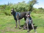 Chien Dogue Bleu en Couple - Dogue Allemand  (0 mois)