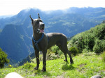 Chien Ulric 1 - Dogue Allemand  (0 mois)