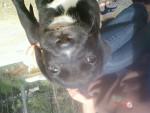 Chien gordon - Dogue Allemand Femelle (1 mois)