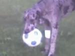 Chien Cybèle - Dogue Allemand Femelle (9 mois)