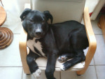 Chien .gordon - Dogue Allemand Femelle (3 mois)