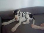 Chien Genko - Dogue Allemand Mâle (2 mois)