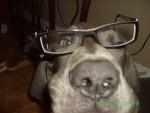 Chien le chien avec des lunettes :) - Dogue Allemand  (0 mois)