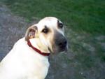 Chien Bella - Dogue Allemand Femelle (1 an)