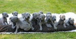 Chien puppiessssssssss - Dogue Allemand  (1 mois)