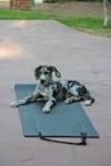 Chien hah - Dogue Allemand  (4 ans)