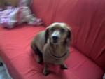 Chien Bebelle - Teckel Femelle (5 ans)