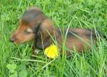 Chien Lilla - Teckel Femelle (6 mois)