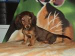 Chien Foebie - Teckel Femelle (3 mois)