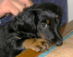 Chien Eabane petit teckel à poils longs - Teckel Femelle (0 mois)