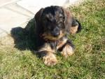 Chien Gipsy de la  Jonchère, Teckel à poils durs 10 mois - Teckel Femelle (10 mois)