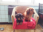 Chien Gessy et Laly - Teckel  (0 mois)