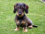 Chien Gypsi de la Jonchère a maintenant 23 mois - Teckel  (1 an et 11 mois)